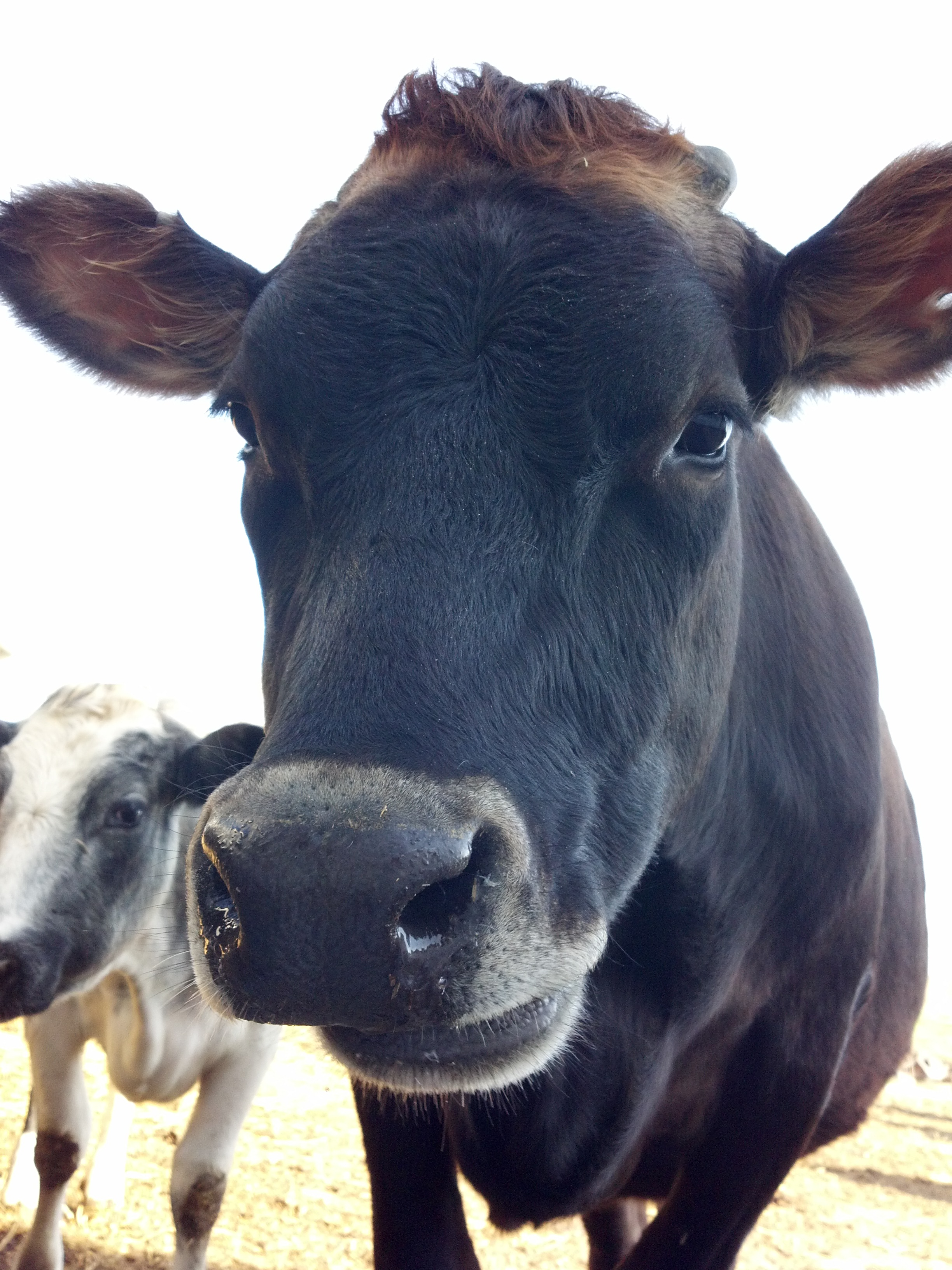 Today we chatted about cows….. but the conversation started when I asked her ...